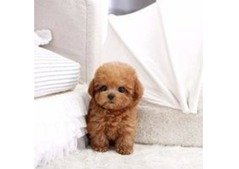 Poodle pups for adoption whatsaap (0586625302)