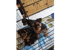 Yorkshire terrier puppies ready for new homes