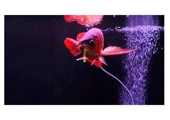 Super red , Golden, Silver, Asian Red Arowana Fish for sale