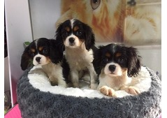 King Charles cavalier puppy available