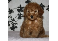 Toy poodle puppies available in dubai