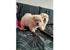 Chowchow puppy available