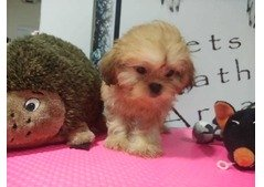 Teacup puppies. What's App 0554729596