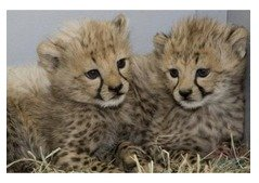SIBERIAN TIGER LEOPARD LION AND CHEETAH CUBS FOR SALE