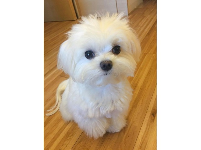 Male And Female Maltese Puppies For