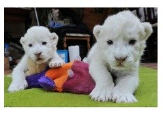 Cheeter Cubs For Sale
