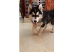 OFFER on HUSKY WhatsApp 0554729596