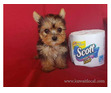 Yorkshire terrier puppies available (971)318-3477