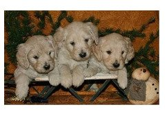 cute english cream puppies  available