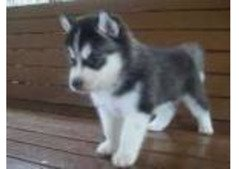 cute siberian husky puppies available for sale