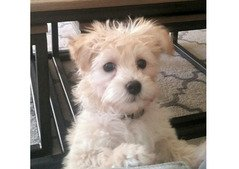 Adorable girl Havanese puppy needs a home