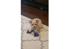 Havanese girl puppy needs a caring home