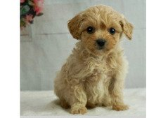 Adorable toy poodle puppies available for sale