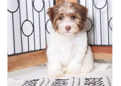 cute havanese puppy available for sale