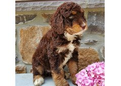cute bernedoodle available for sale