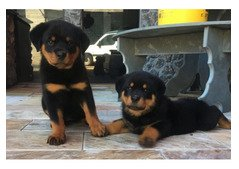 Rottweiler Puppies Now Ready for sale( +971.5560.75.263)