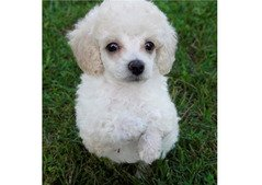 Lovely Poodle pups for sale