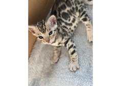 Amazing Registered Silver Bengal Kittens.