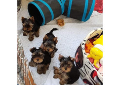Cute adorable yorkie pups