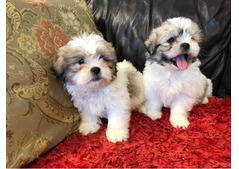SHIH TZU -PUPPIES FOR REHOMING whatsapp+13233645209