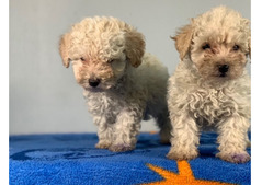 cute toy poodle available for rehoming whatsapp +13233645209