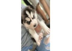 Gorgeous Akc Siberian Husky puppies whatsapp +13233645209