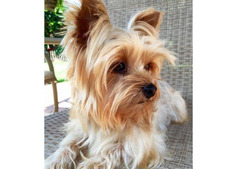 Yorkshire terrier for free adoption whatsapp +13233645209