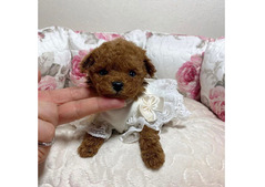 Teacup Toy Poodle Puppies