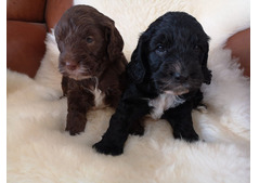 Nice and Healthy Cockapoo  Puppies