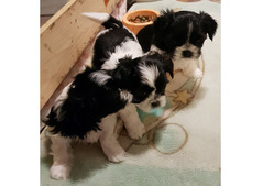 Shih Tzu Puppies available.