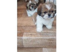 Two Awesome Shih Tzu  Puppies