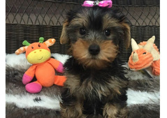 Yorkie puppies for home