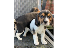 Adorable outstanding beagle puppies