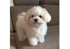 Adorable outstanding Maltese puppies