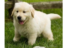 Miniature Golden retriever Puppies For sale whatshapp +971504185305
