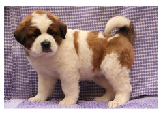 Saint Bernard puppies for rehoming whatshapp +971504185305