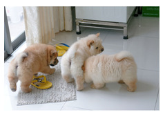 Chow Chow Puppies ready for sale whatshapp +971504185305