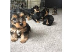 yorky puppy rolling on deck