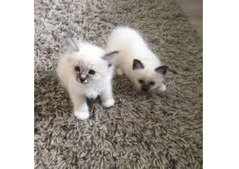Birman male and female kittens for sale