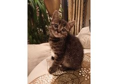 Cutest Bengal kittens for adption