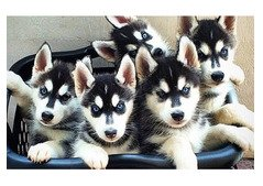 Husky Puppies available At Good Rate