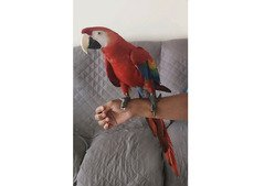 Scarlet Macaw With Cage