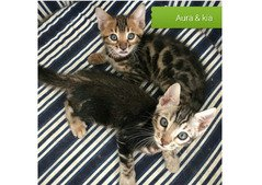 Sphynx and Bengal  kittens available,