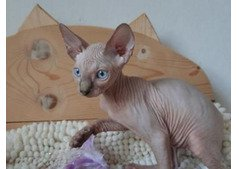 Sphynx and Bengal  kittens.