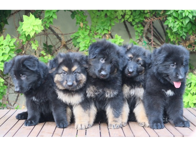 Full Black Long Hair German Shepherd Puppies For Sale Al Mamzar Dubai Classifieds