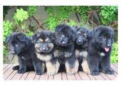 Full Black long hair German shepherd puppies for sale