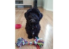 Havanese puppies for sale - Pure Breed Puppies For special Offer Price