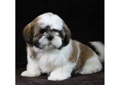 Shihtzu Puppies for Sale - Pure Breed Special Offer Price