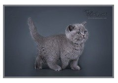 BLUE BRITISH SHORTHAIR WITH ALL PAPERS BORN IN ABU DHABI