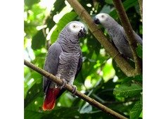 Adorable male and female African gray parrots for adoption.